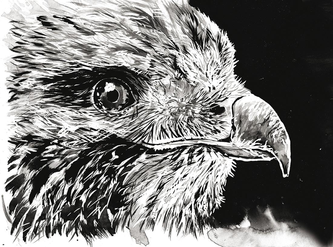 Flo kanban illustration jeunesse Aigle encre lavis