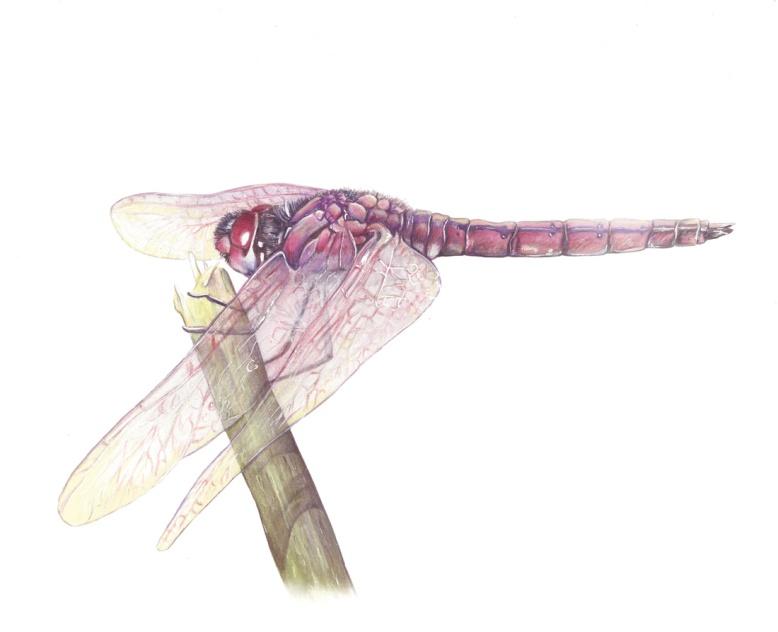 Flo kanban illustration jeunesse Libellule